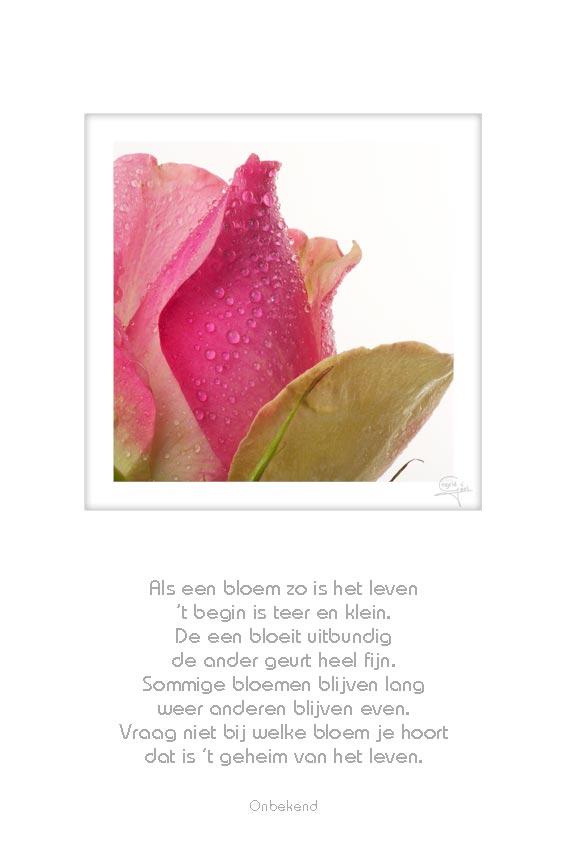 03-roze-roos-als-een-bloem-zo-onbekend-14042012-web