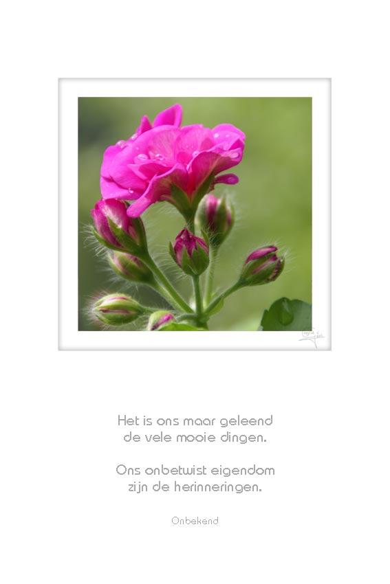 32-bloem-met-knoppen-het-is-ons-maar-onbekend-50x75cm-10052012-web